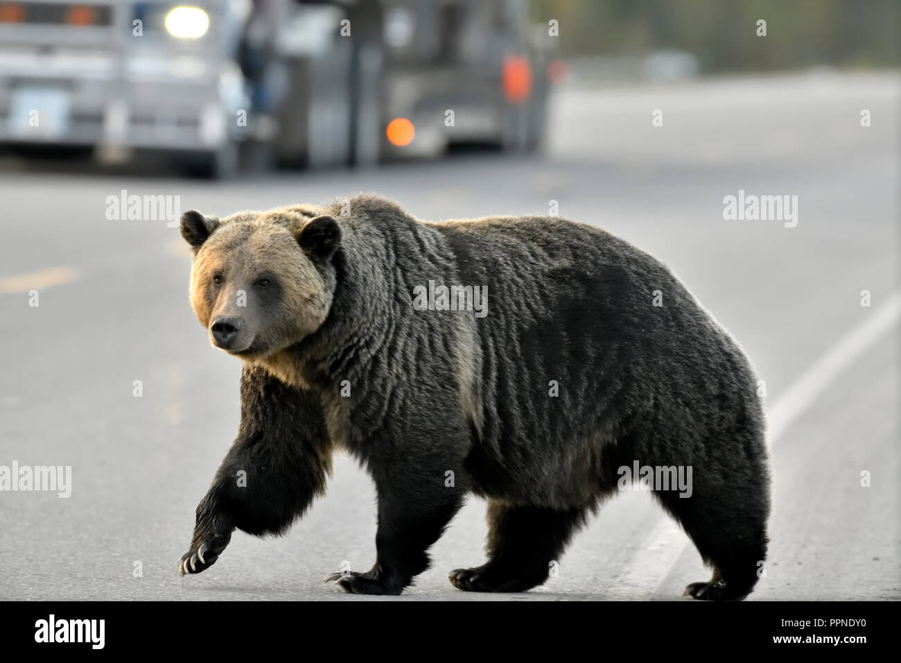 Grizzly bear walking - photo#29