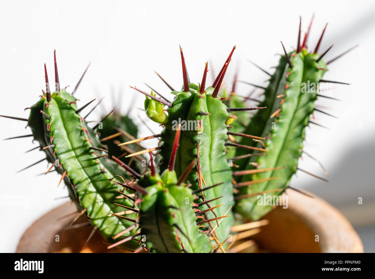 Close up of a small young Euphorbia heptagona cactus with its red coloured spines and a new vertex emerging - Stock Image