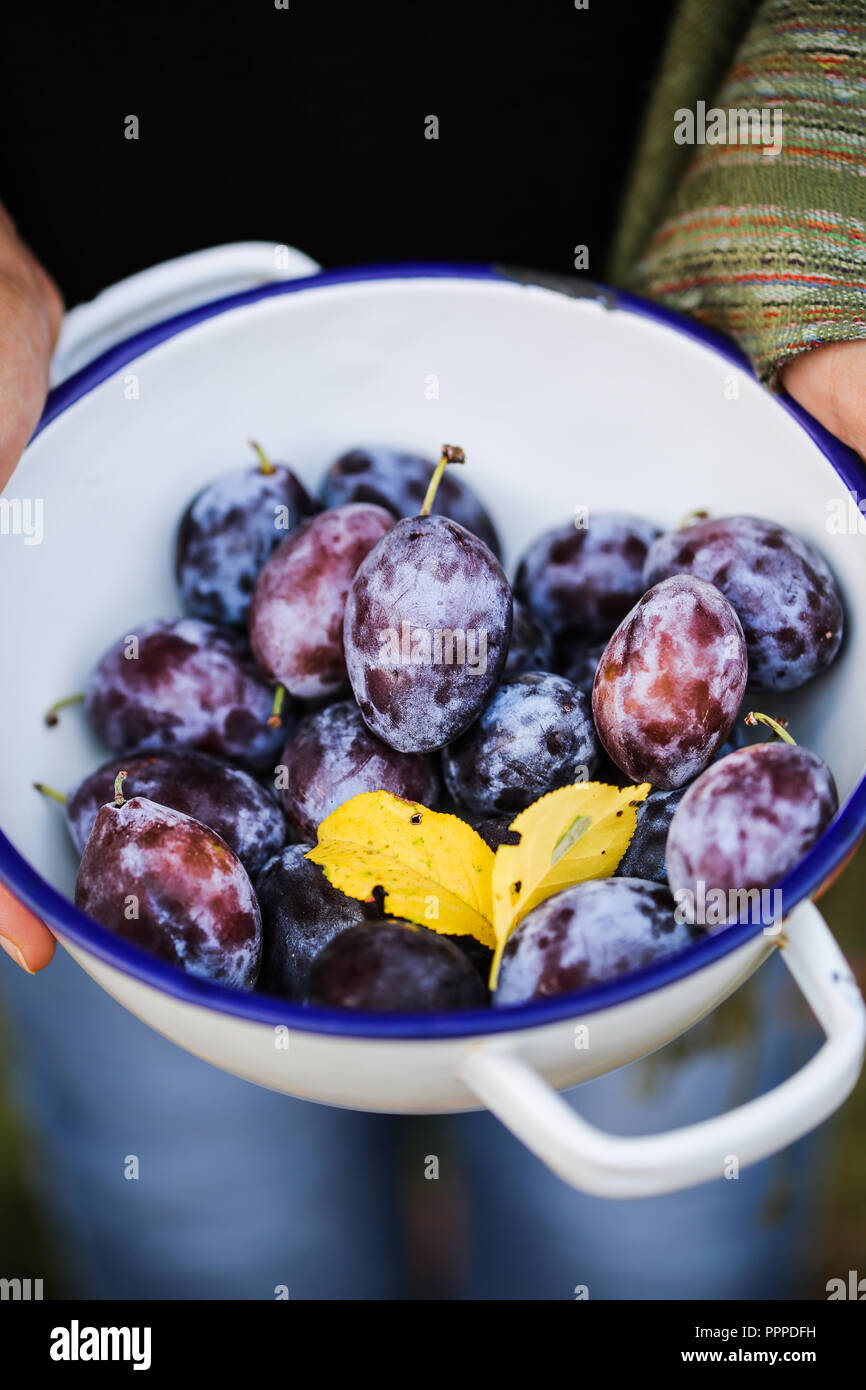 Plums of Dro. - Stock Image