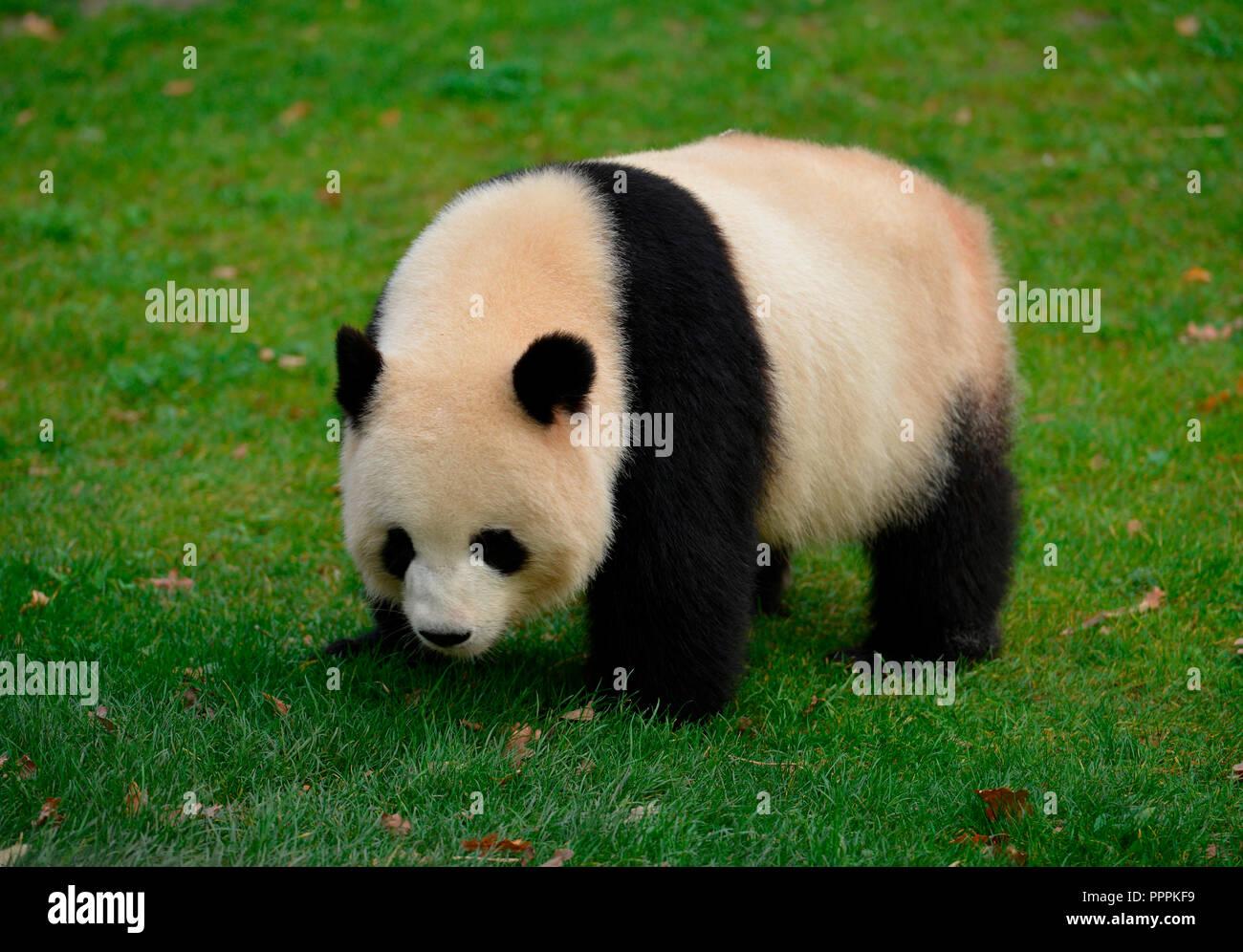 Panda Meng Meng, Zoo, Tiergarten, Mitte, Berlin, Deutschland - Stock Image