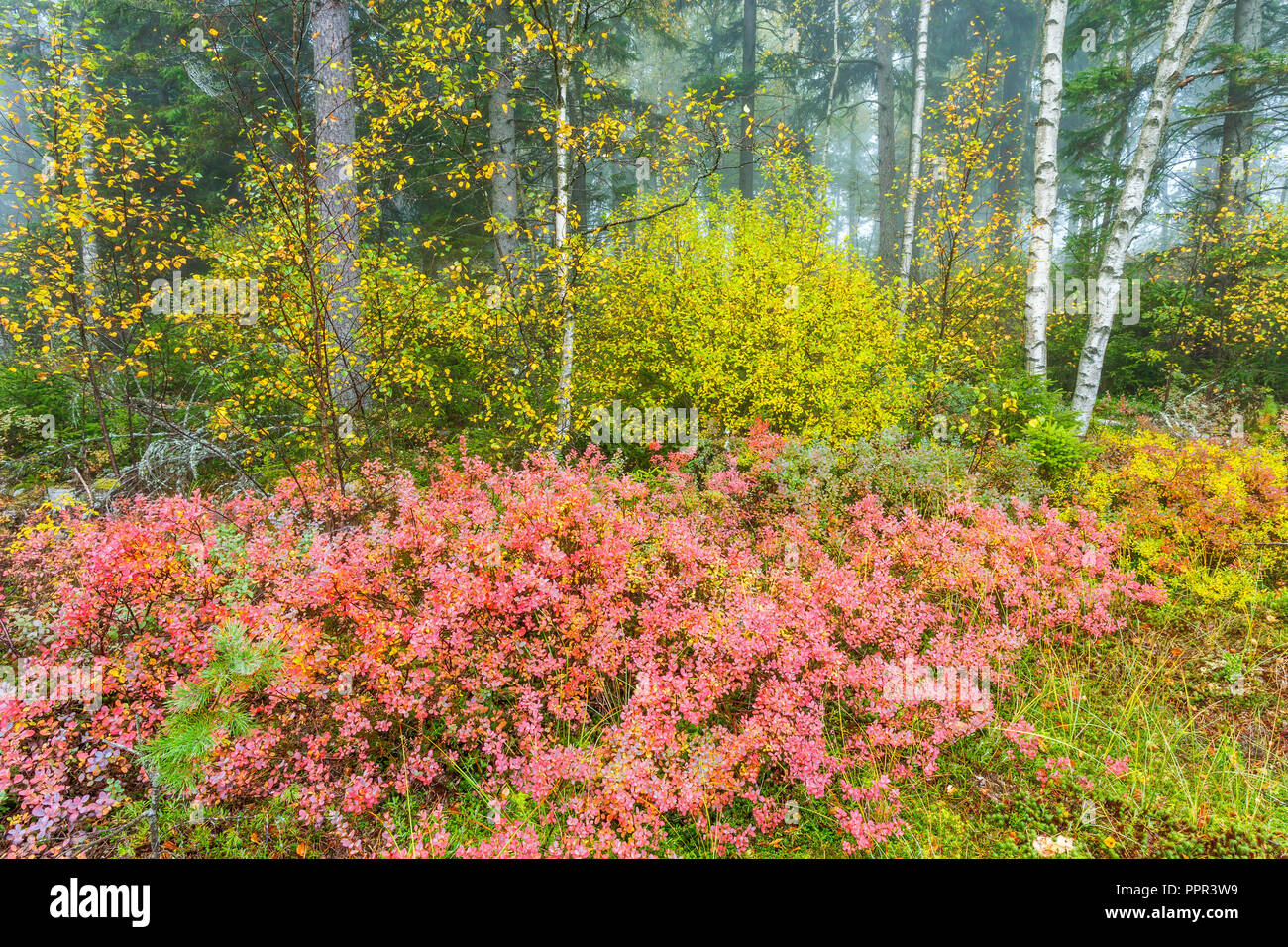 Autumn colors in a forest with fog - Stock Image