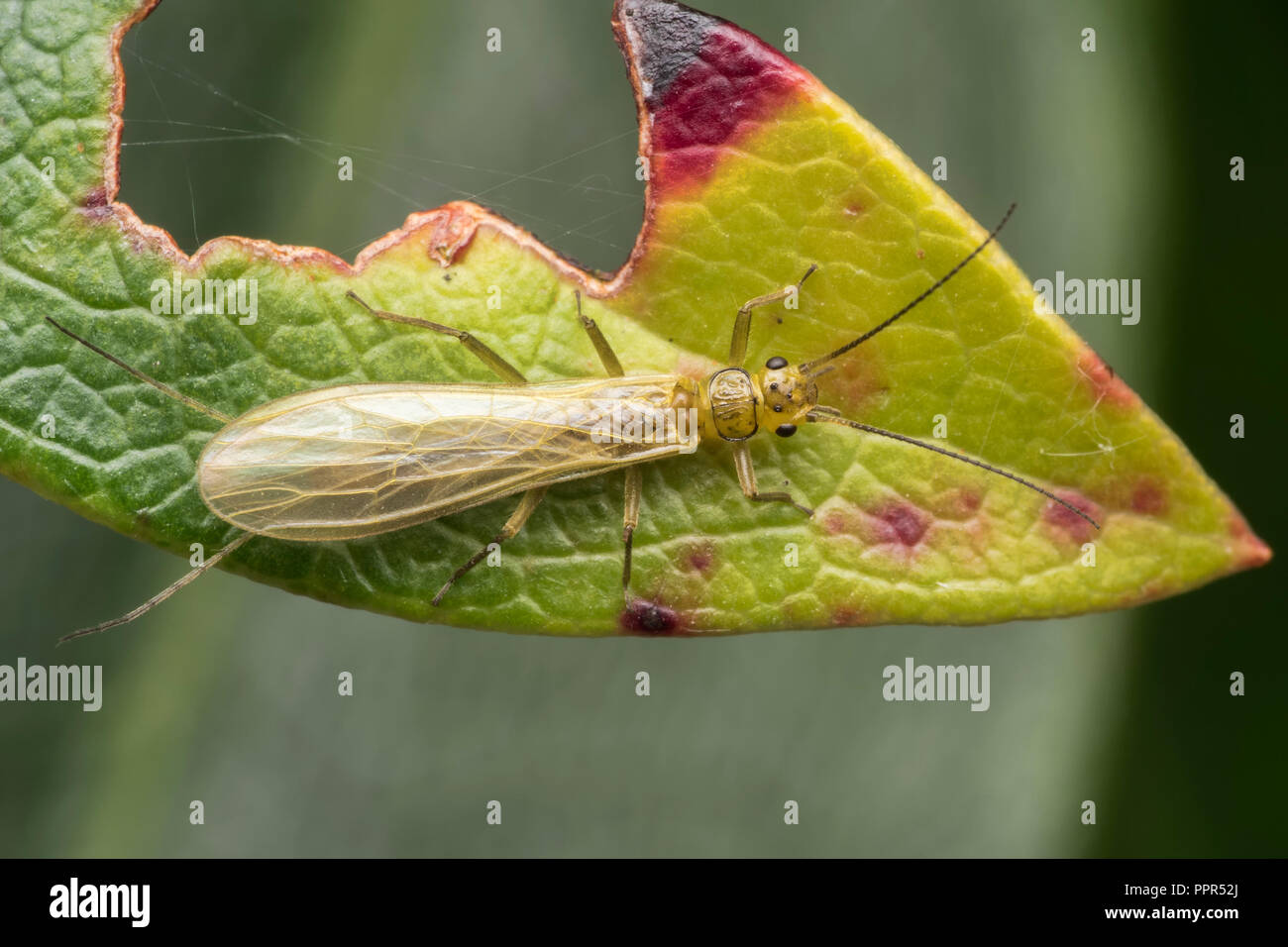Dorsal view of Stonefly on rhododendron leaf. Tipperary, Ireland - Stock Image