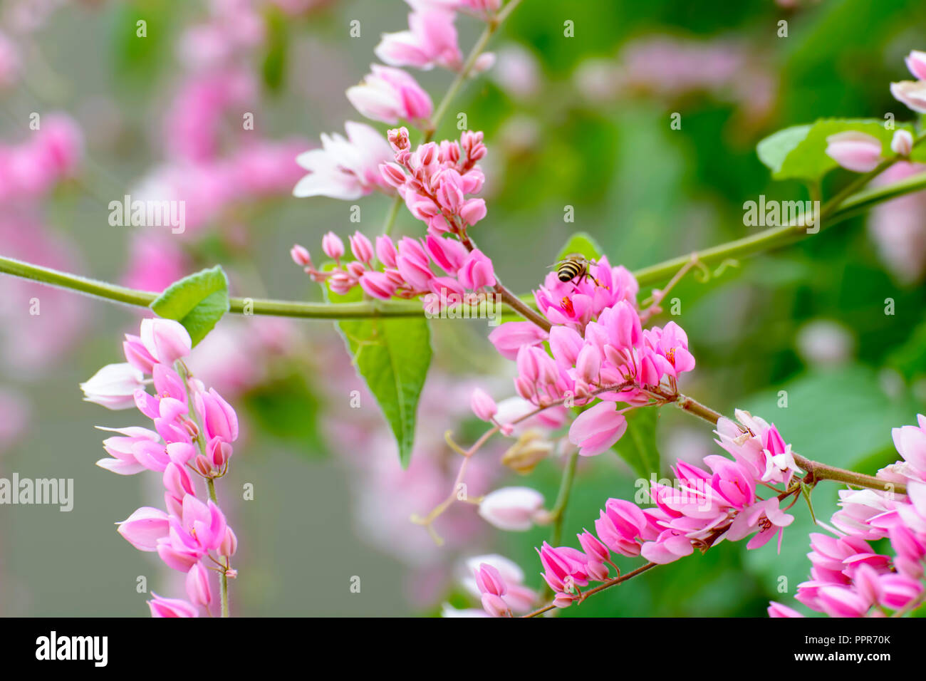 It Is A Vine With Pink Or White Flowers Stock Photo 220557251 Alamy