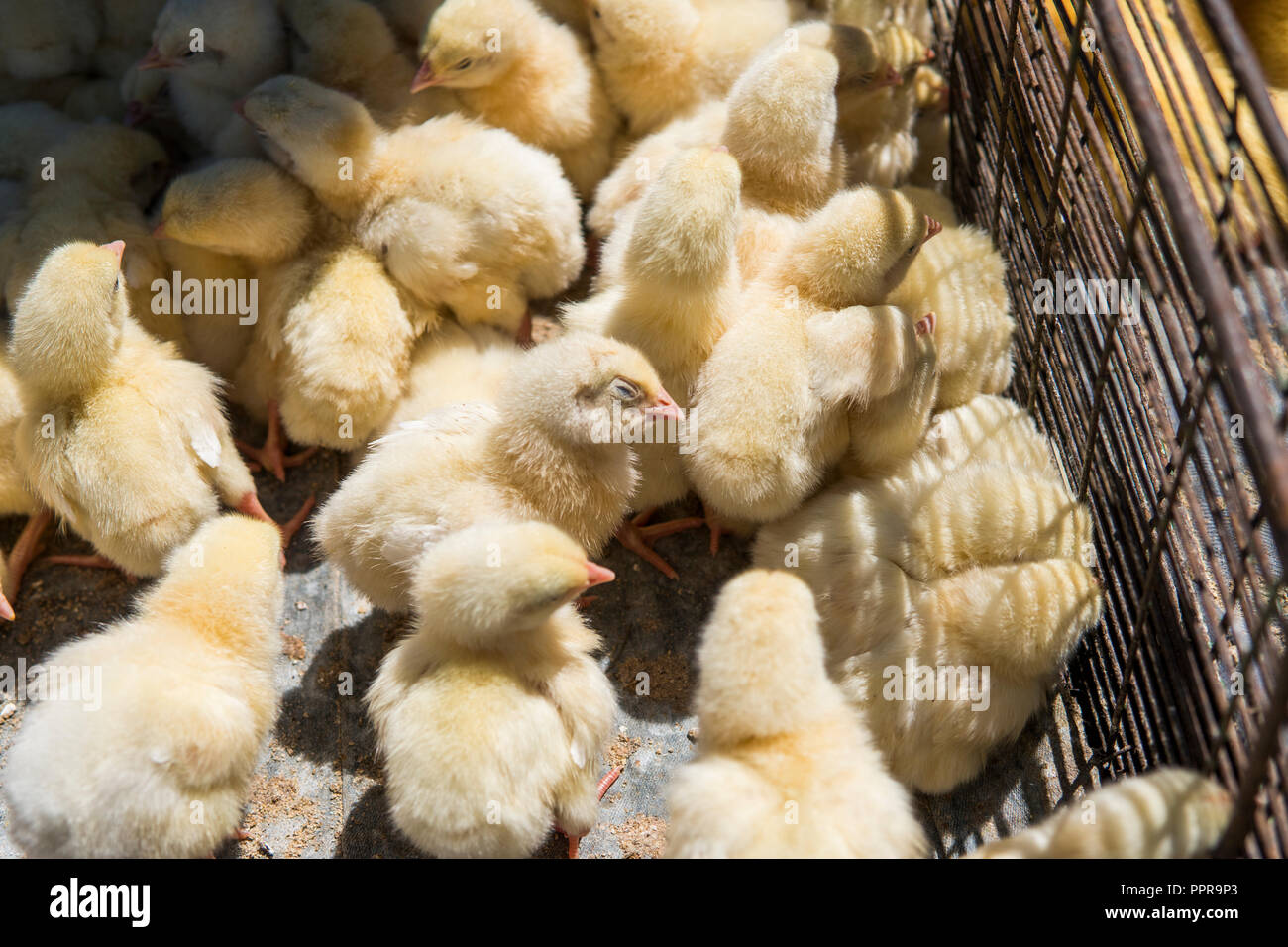 Baby chicken, small and very beautiful yellow chicks are placed in metal net cage box for sale on a fair. Incubator chickens for sale. Agriculture. Farming. - Stock Image