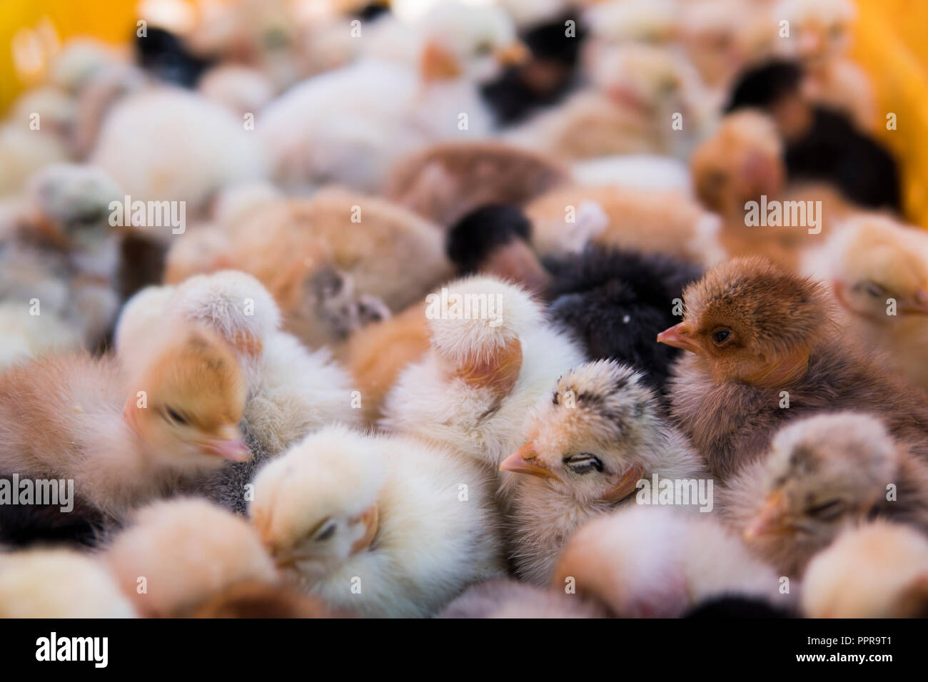 Baby chicken, small and very beautiful yellow chicks are placed in plastic cage box for sale on a fair. Incubator chickens for sale. Agriculture. Farming. - Stock Image