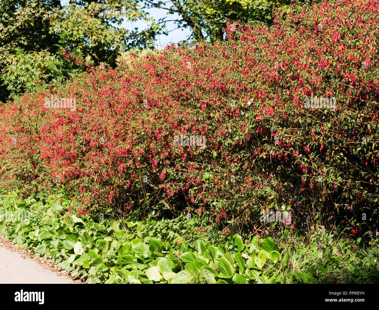 Red Flowered Woody Semi Evergreen Shrub Fuchsia Magellanica