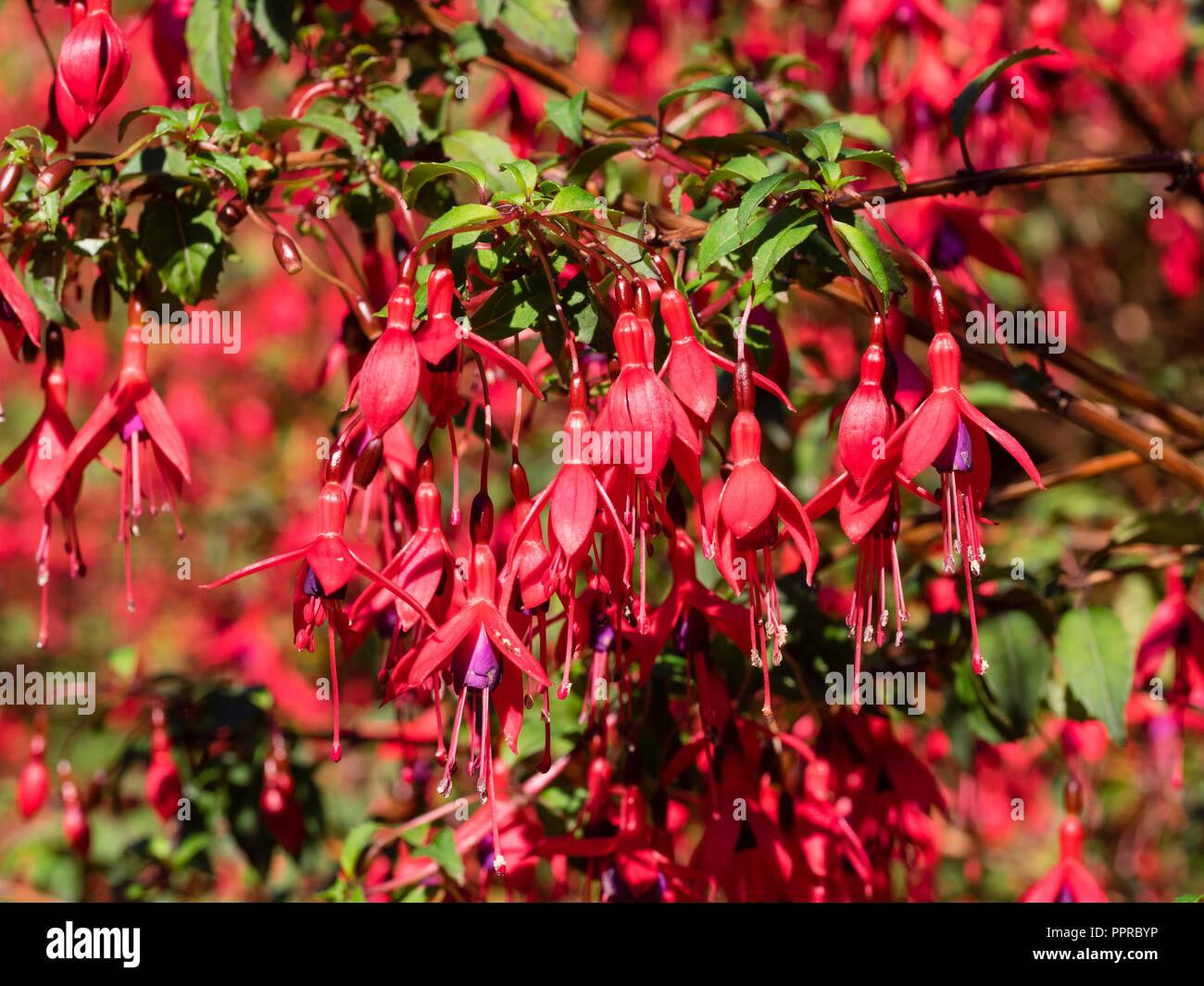 Red Flowered Purple Skirted Woody Semi Evergreen Shrub Fuchsia