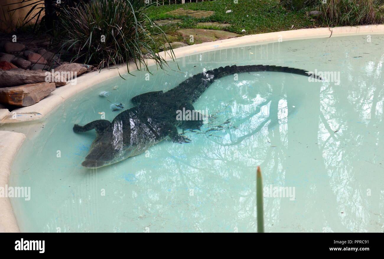 Sydney, Australia - Jun 21, 2015. Saltwater Crocodile in Featherdale Wildlife Park. Also known as Saltie, Estuarine Crocodile and Indo-Pacific Croc is - Stock Image