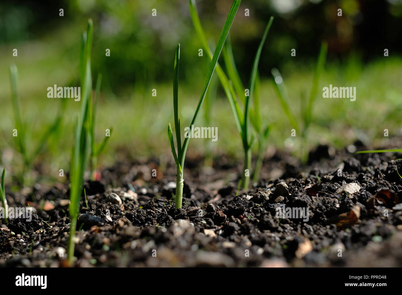 Young garlic bulbs sprouting in UK autumn - Stock Image