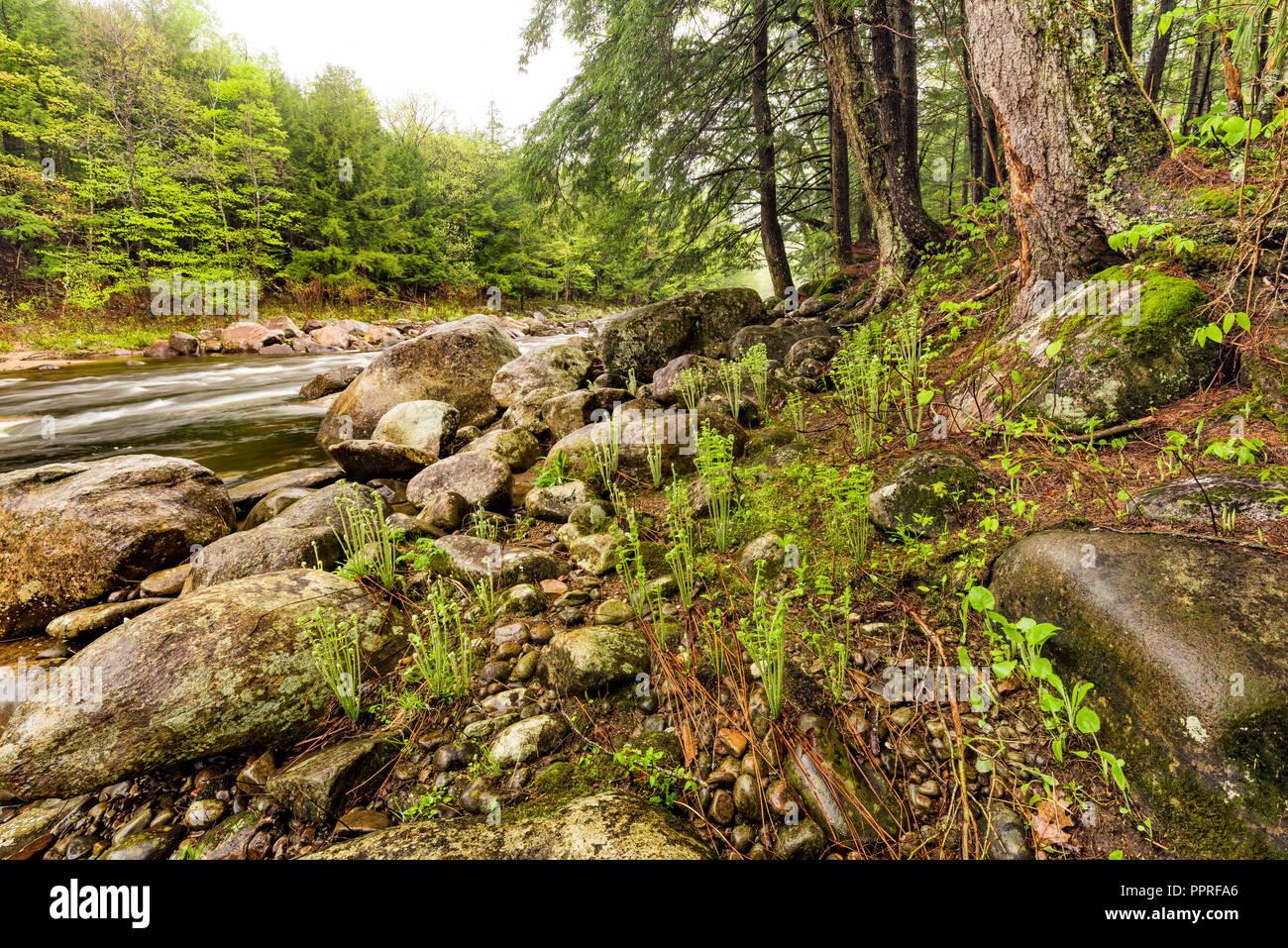 Fiddleheads and ferns along the bank of Sacandaga River, Adirondack Mountains, Hamilton Co., NY - Stock Image