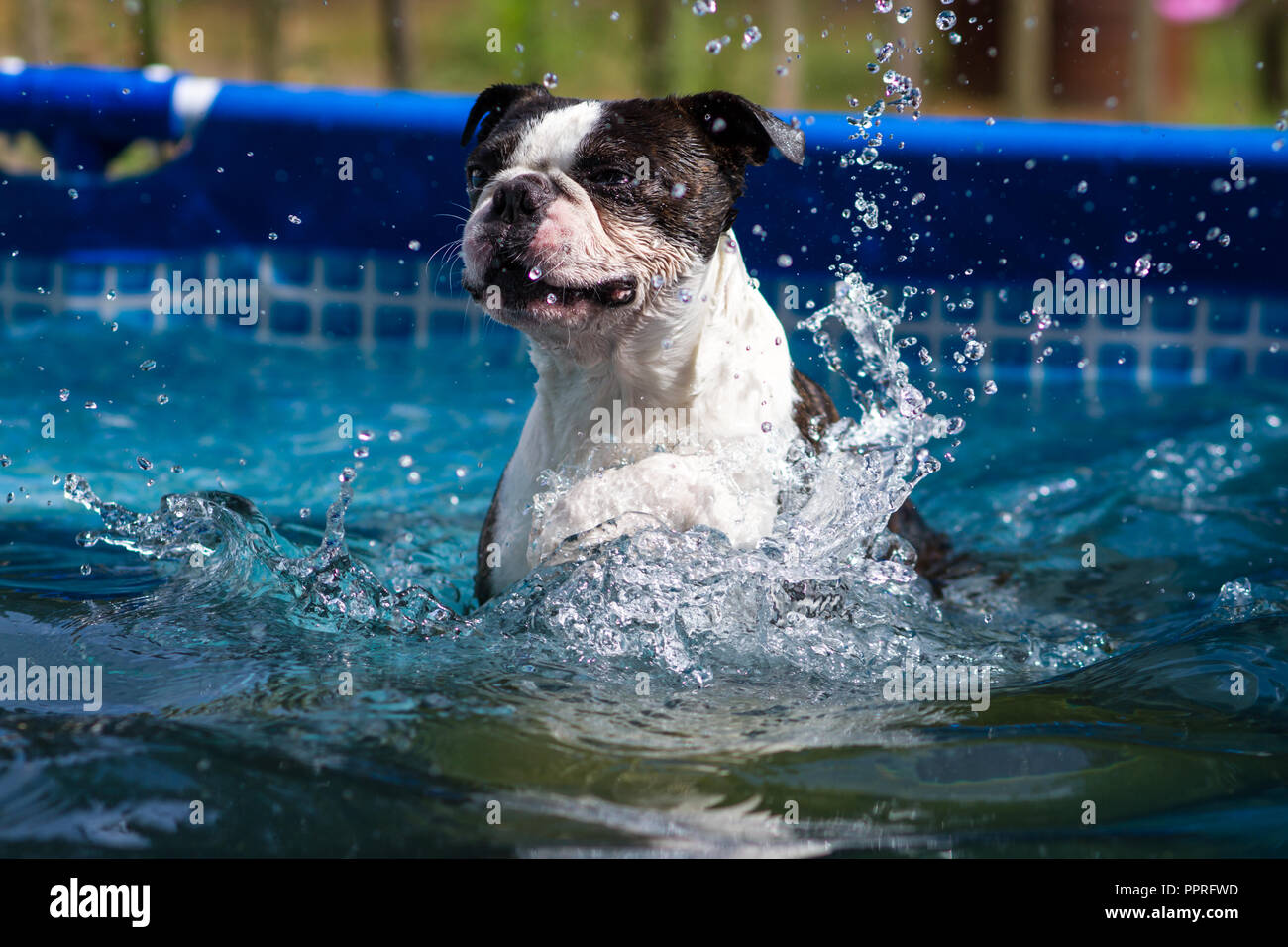 Boston Terrier swimming in the pool Stock Photo