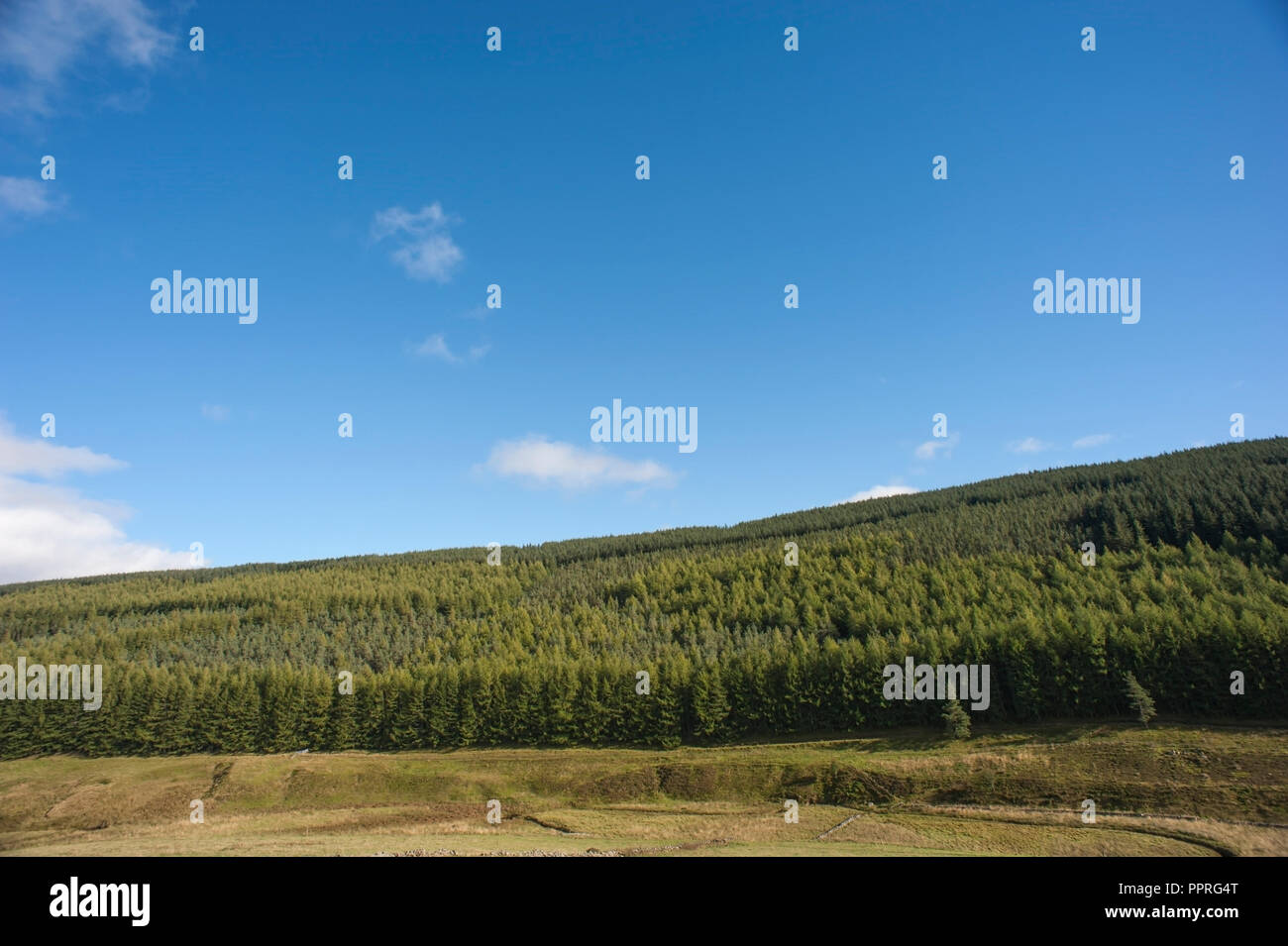 Scottish pine forest, Glen Isla, Scotland. - Stock Image