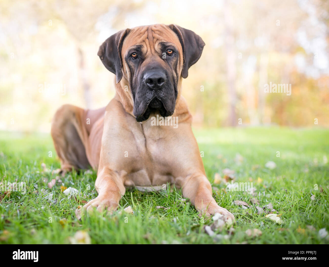 A Boerboel dog with a serious expression lying in the grass - Stock Image
