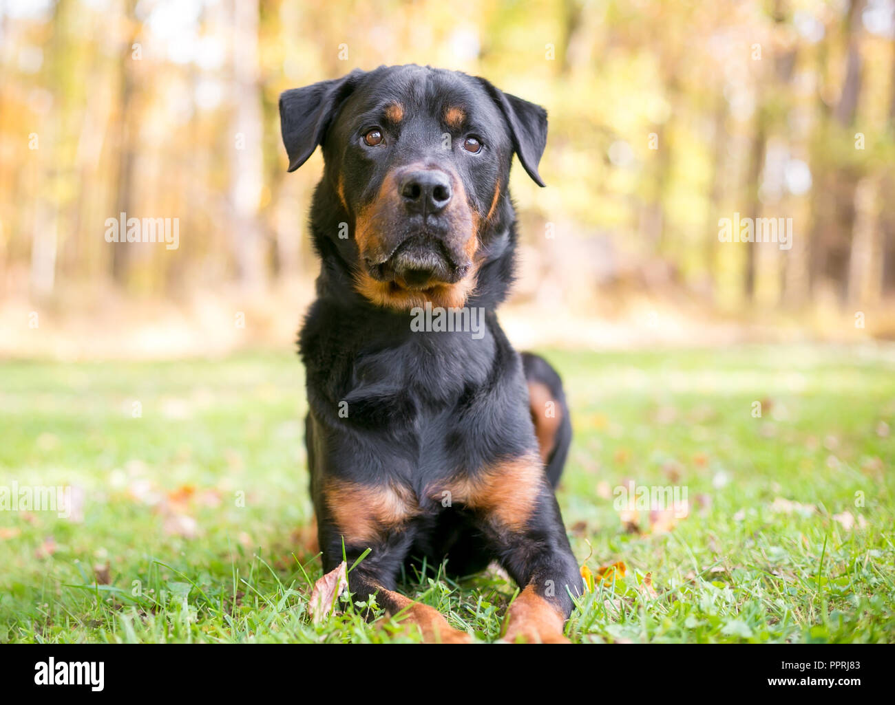 A Rottweiler dog lying in the grass outdoors - Stock Image