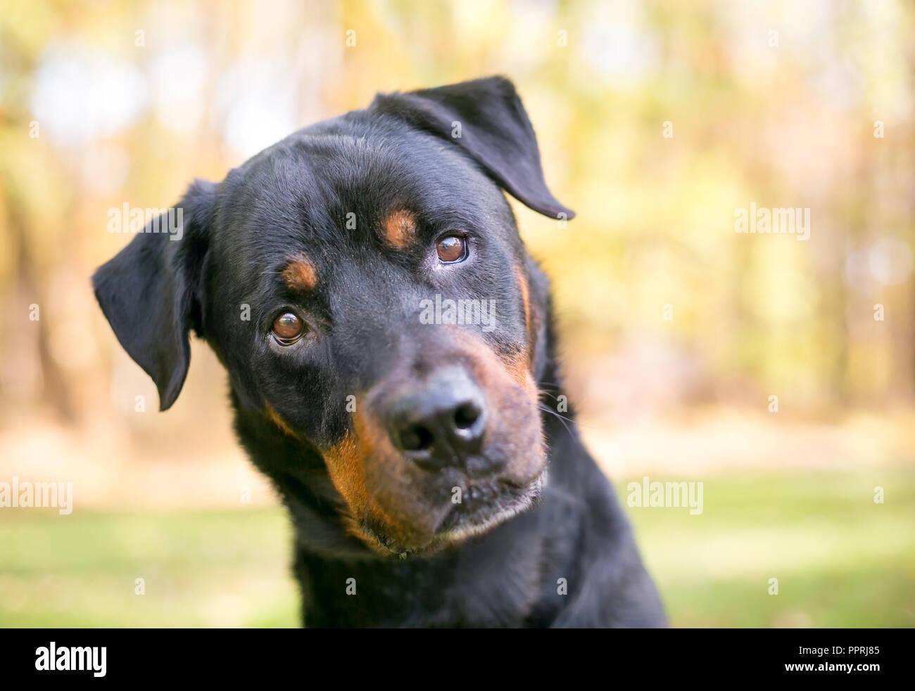 A Rottweiler dog outdoors listening with a head tilt - Stock Image