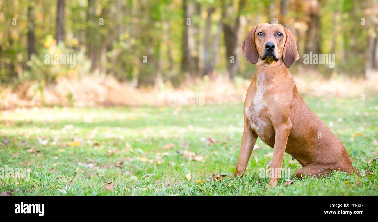 Panoramic view of a Redbone Coonhound dog sitting outdoors - Stock Image