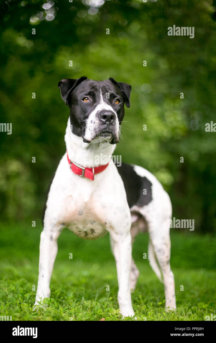 A Black And White American Bulldog Mixed Breed Dog Wearing A Red