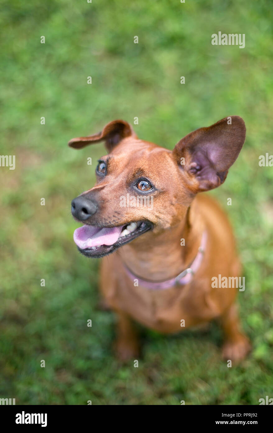 A red Miniature Pinscher dog with floppy ears sitting in the grass - Stock Image