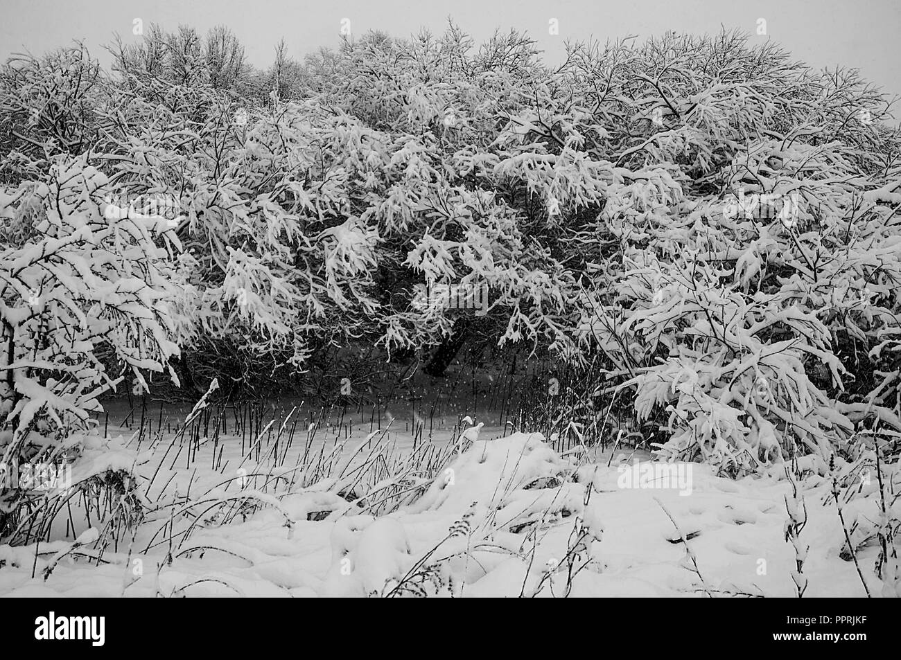 Snow-covered trees during the first snow on a winter day - Stock Image