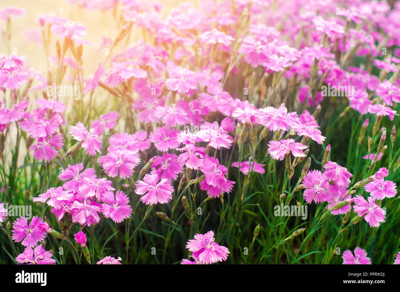 Beautiful spring flowers rose maiden pinks growing in the garden on beautiful spring flowers rose maiden pinks growing in the garden on a sunny day background for design natural wallpaper izmirmasajfo