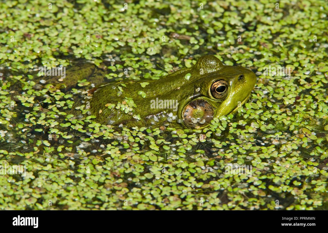 Green Frog Lithobates clamitans in Duckweed Lemna, E N America, by Skip Moody/Dembinsky Photo Assoc Stock Photo