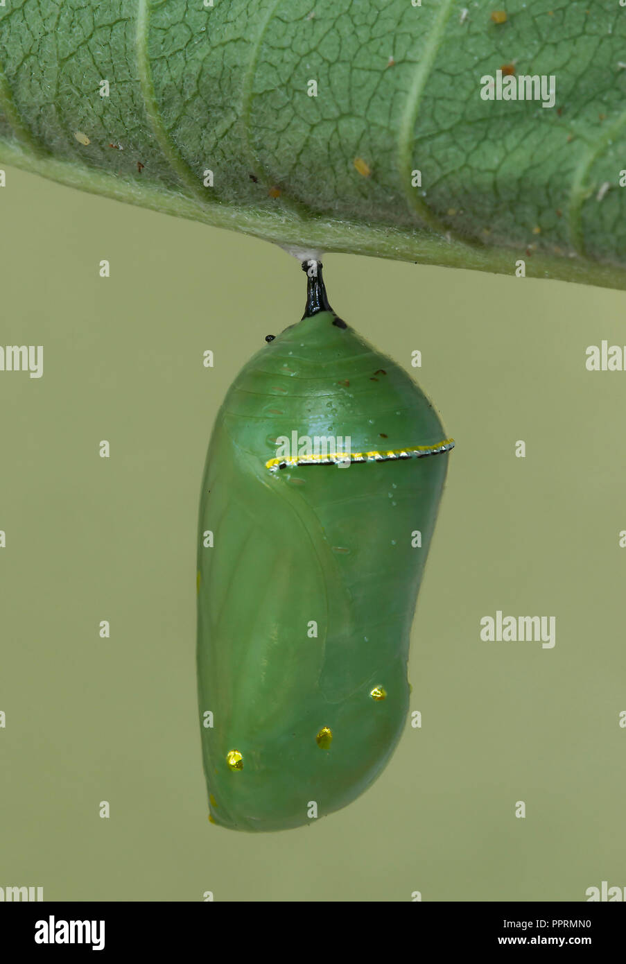 Monarch Butterfly Pupa Danaus plexippus on Common Milkweed leaf (Asclepias syriaca), Eastern NA, by Skip Moody/Dembinsky Photo Assoc - Stock Image