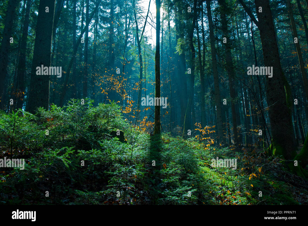 Lightshow in the forest - Stock Image