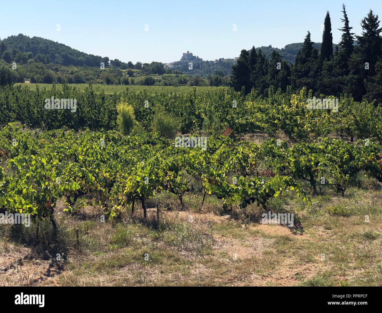 Grapevines in traditional Provencal landscape in late summer before harvest - Stock Image
