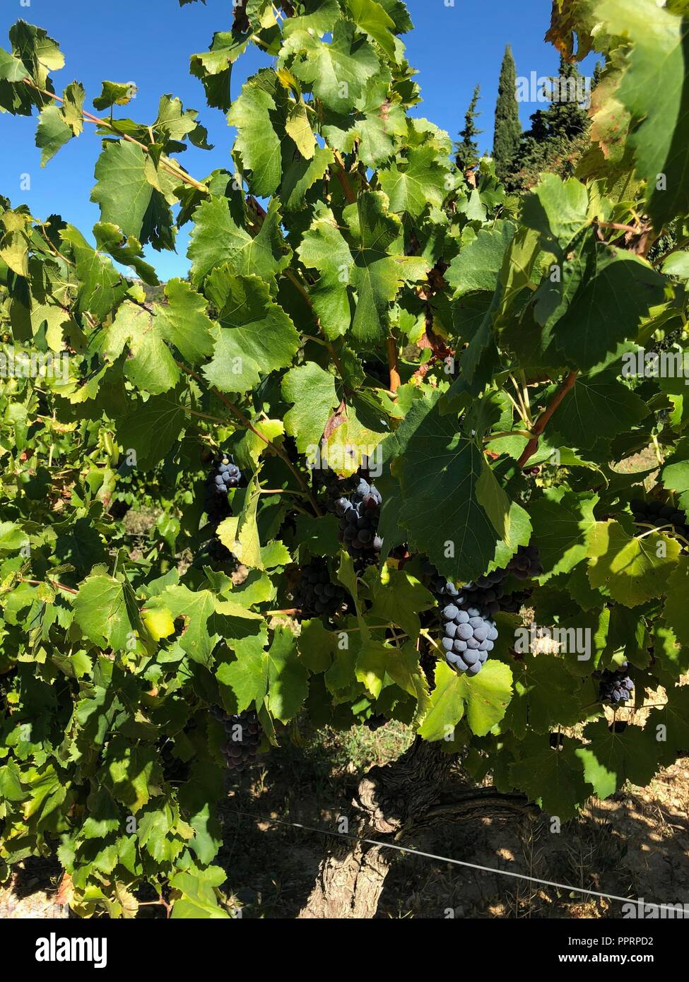 Vineyards in Provence, France in late summer before harvest - Stock Image