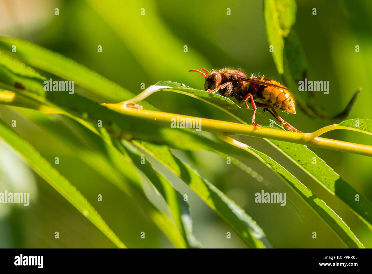 Hornet (Vespa crabro) Britains largest wasp with brown and dull yellow colouring. Cleaning up after feeding on ivy flower heads residue nearby. - Stock Image