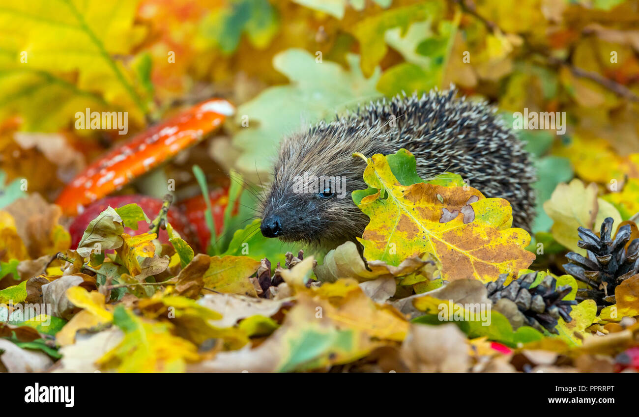 Hedgehog, wild, native, European hedgehog in colourful Autumn leaves, facing left.  Scientific name: Erinaceus europaeus.  Horizontal. - Stock Image
