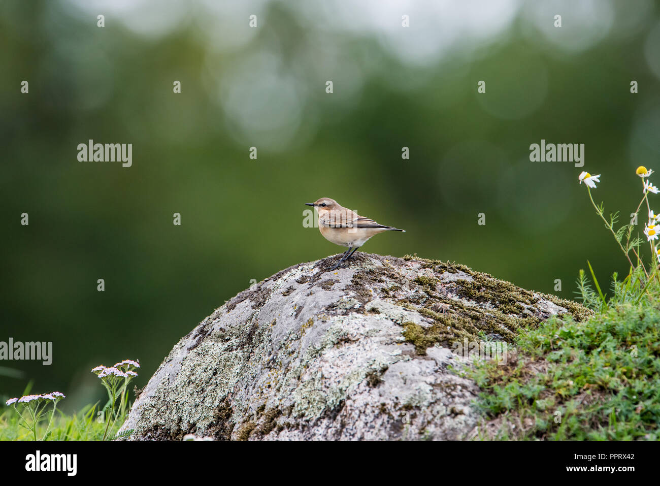 Northern Wheatear perching on a stone in a  stony country in september with a nice green bokeh - Stock Image