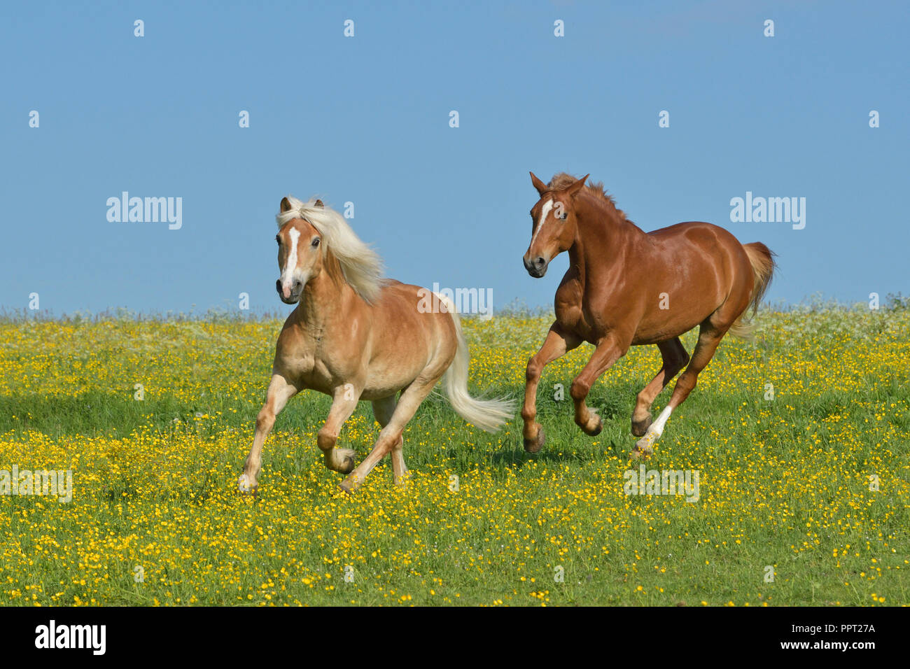 Two horses galloping in the field Stock Photo