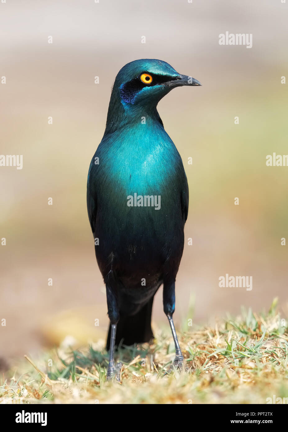 Greater Blue-eared starling - Stock Image