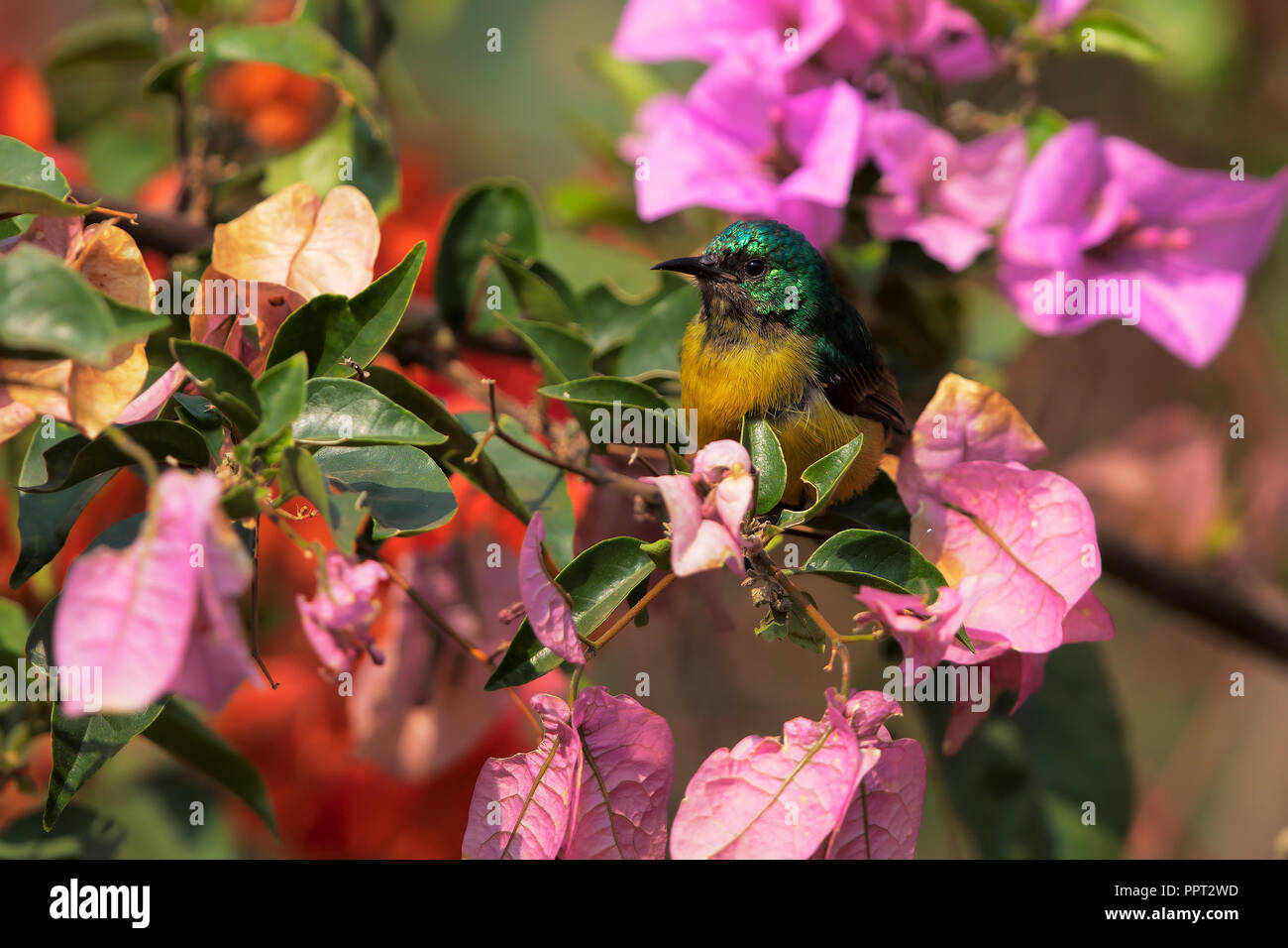 Variable sunbird - Stock Image