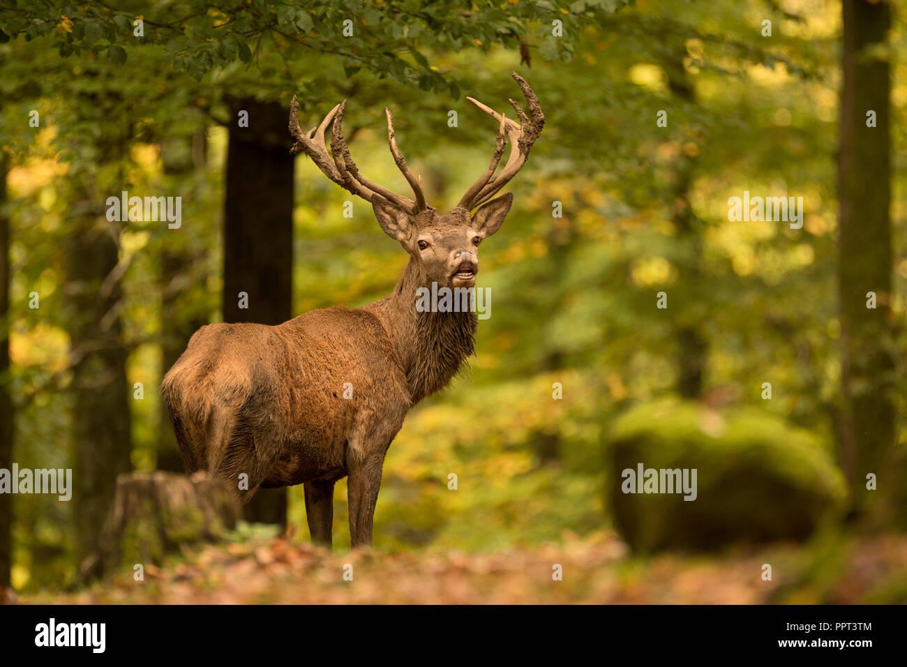 Rothirsch (Cervus elaphus), Brunft, Rotwild, Herbst, Laubwald, Daun, Rheinland-Pfalz, Deutschland Stock Photo