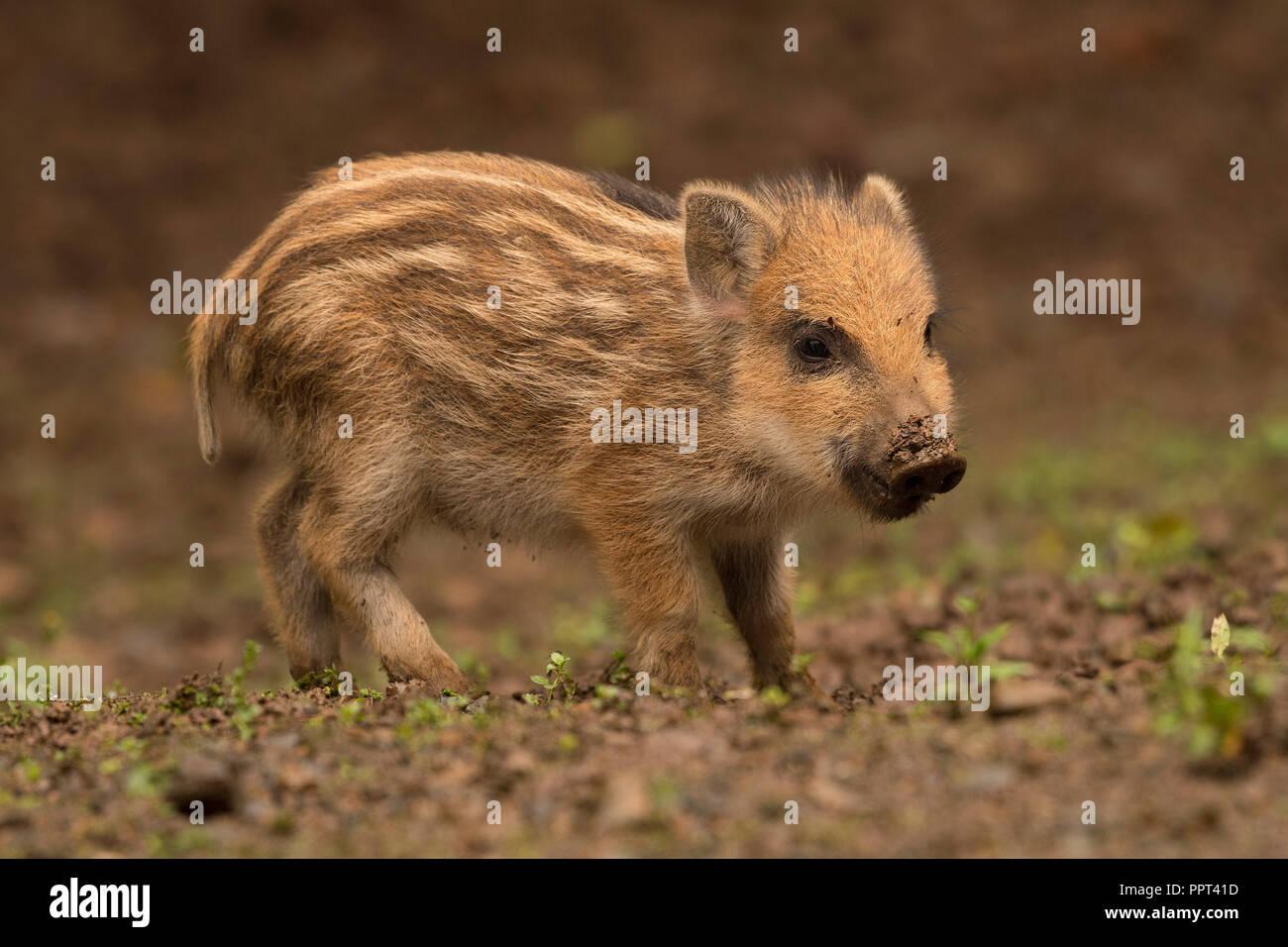 Wildschwein (Sus scrofa), Daun, Rheinland-Pfalz, Deutschland - Stock Image