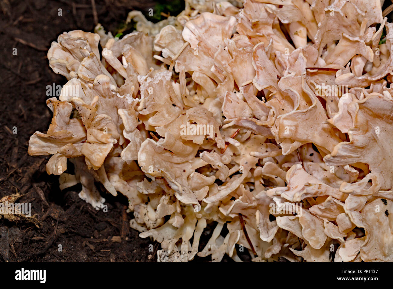 Cauliflower mushroom, (Sparassis brevipes) - Stock Image