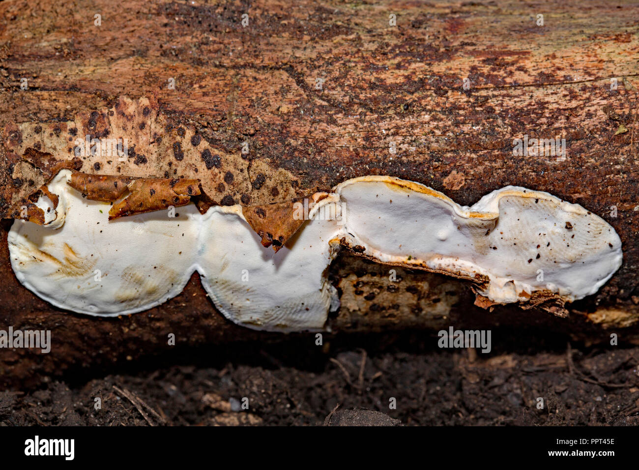 hazel bracket, (Skeletocutis nivea) - Stock Image