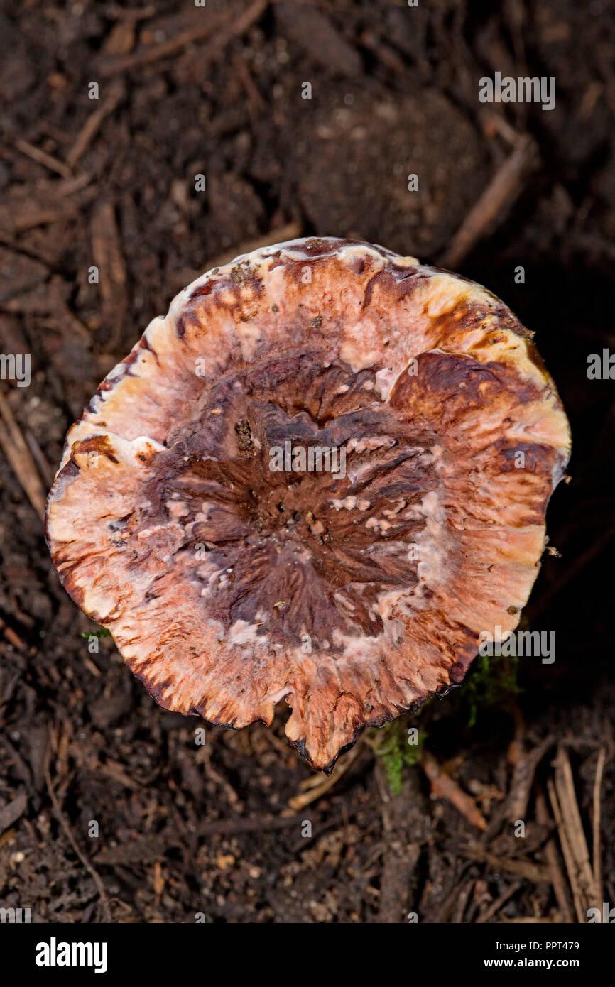 mealy tooth fungus, (Hydnellum ferrugineum) - Stock Image