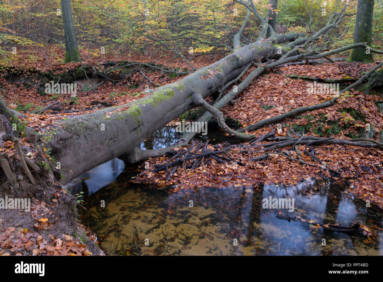 Rotbach, creek in beech forest, november, Oberhausen, Germany Stock Photo