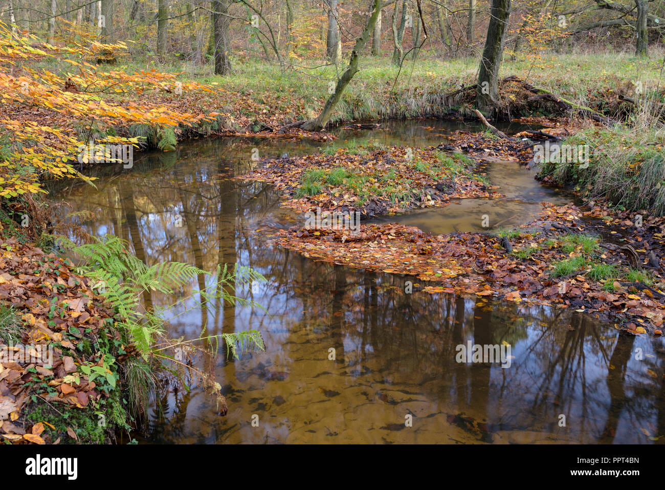 Rotbach, creek in beech forest, november, Oberhausen, Germany Stock Photo