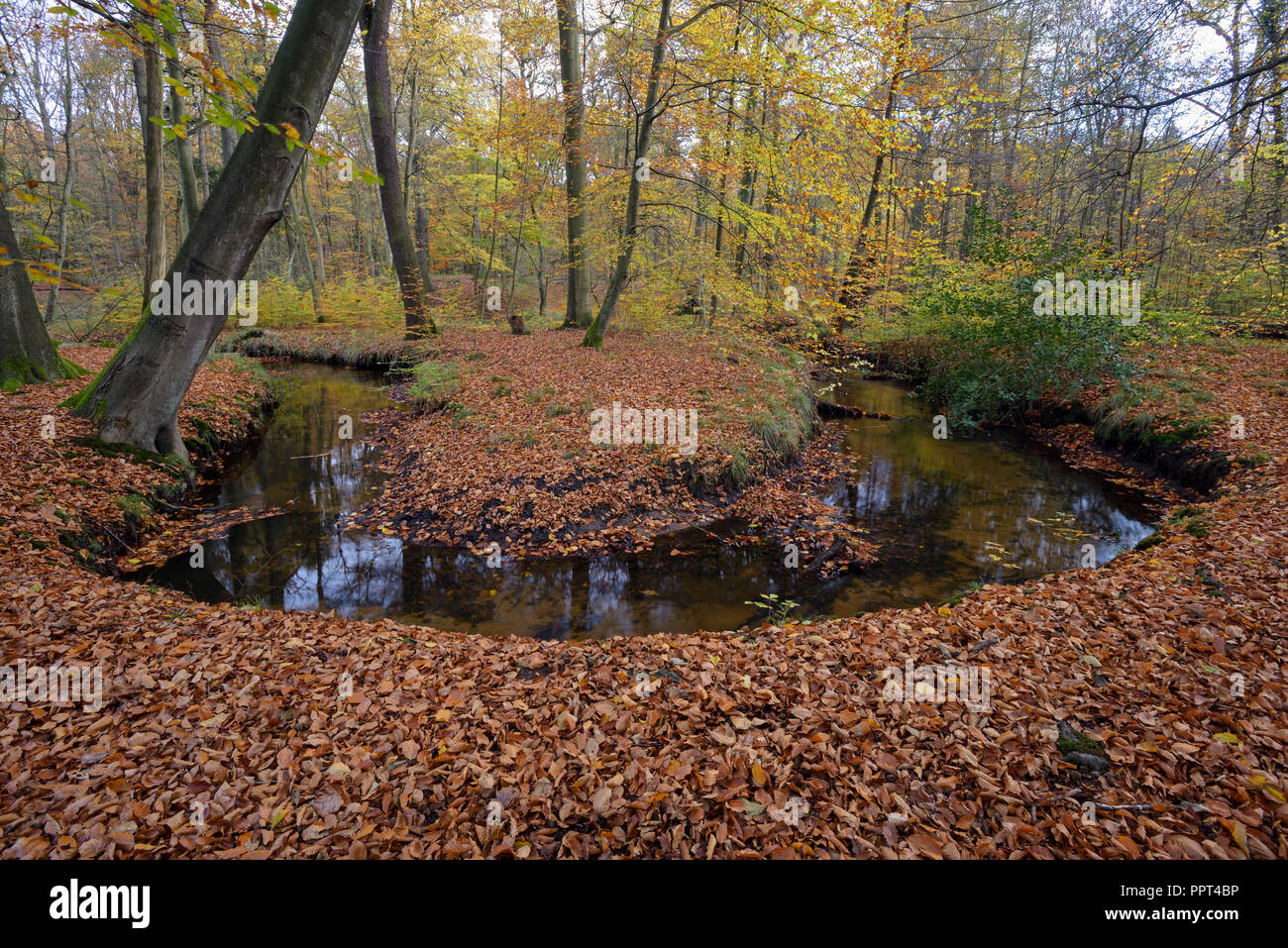 Rotbach, creek in beech forest, november, Oberhausen, Germany - Stock Image