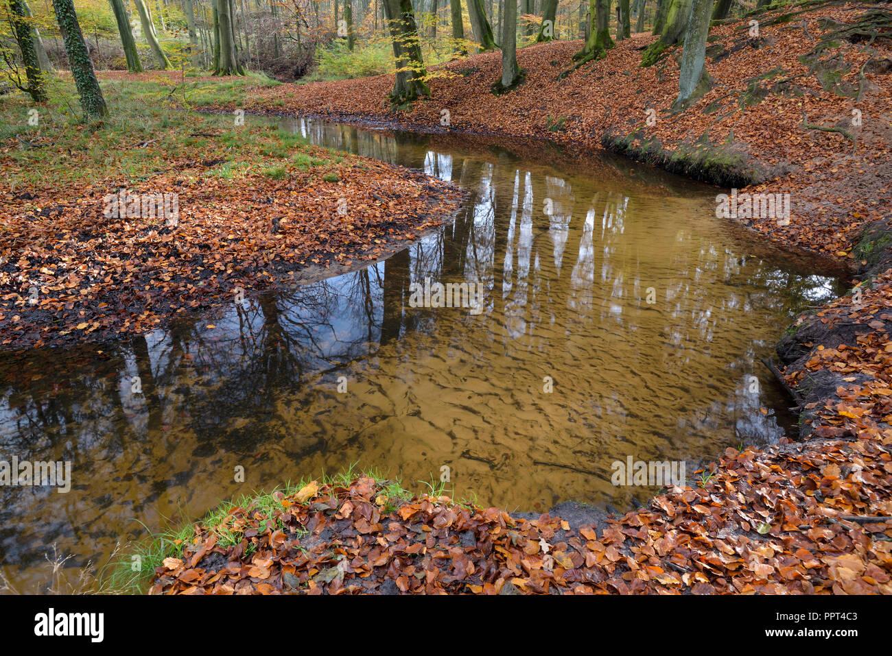 Rotbach, creek in beech forest, november, Oberhausen, Germany - Stock Image