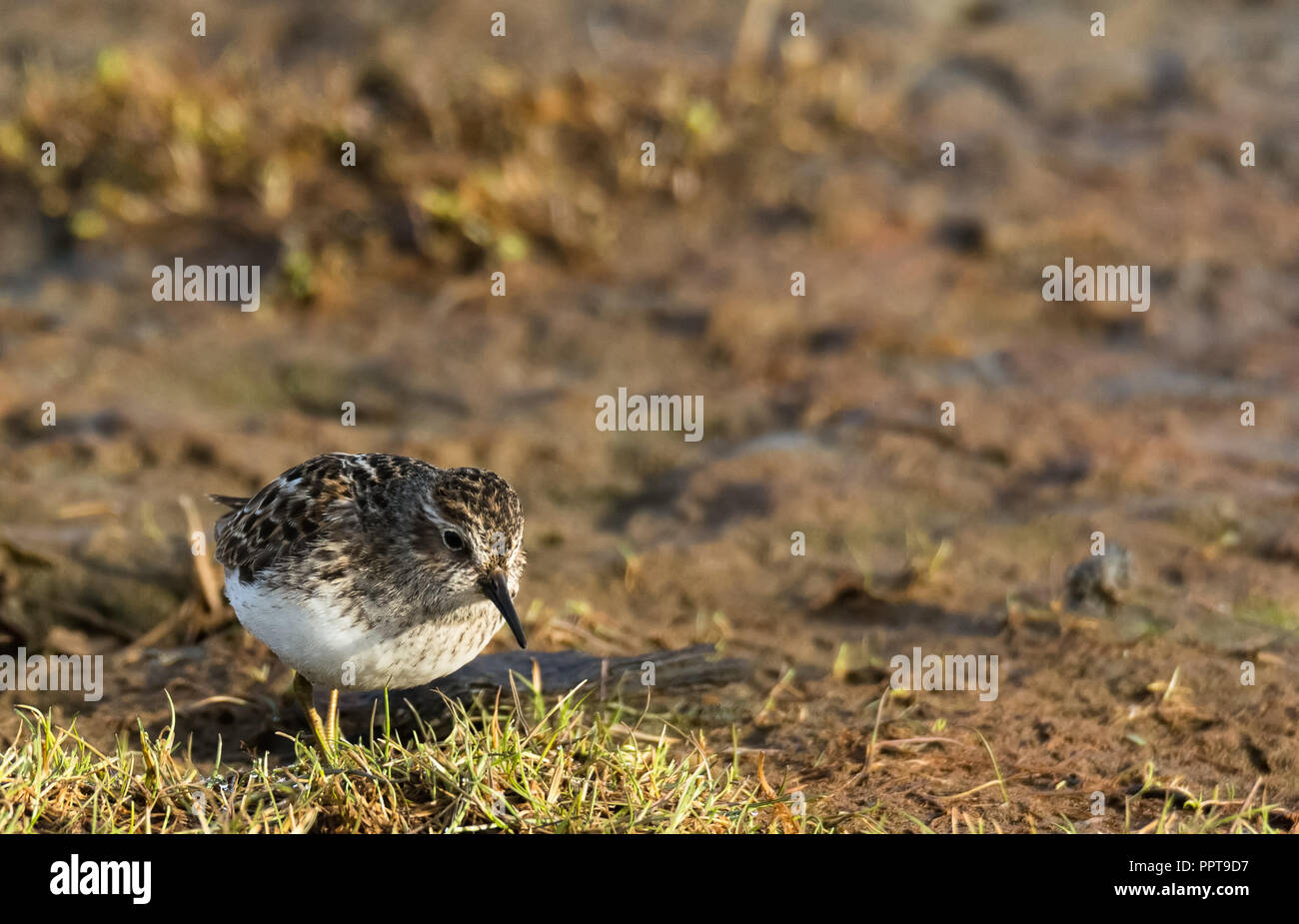 A single sandpiper is standing on a tuft of grass sticking out of the mud - Stock Image