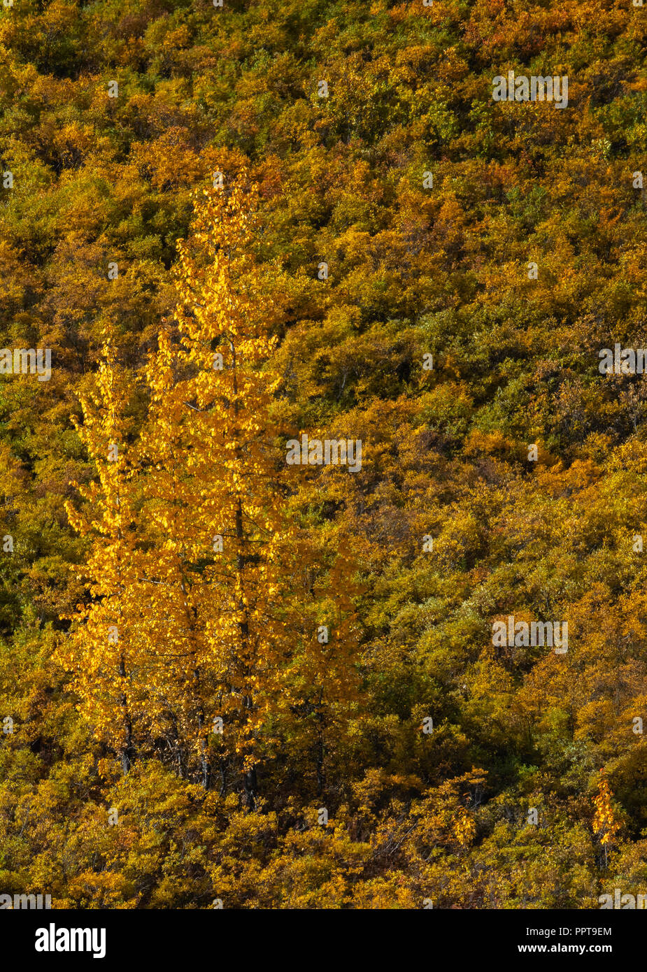A single tall tree is fall colors matches golden yellow tones of  the low scrub around it. - Stock Image