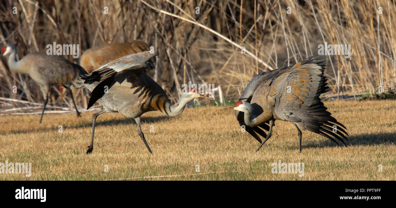 Two sandhill cranes with wings half stretched posture to one another. - Stock Image