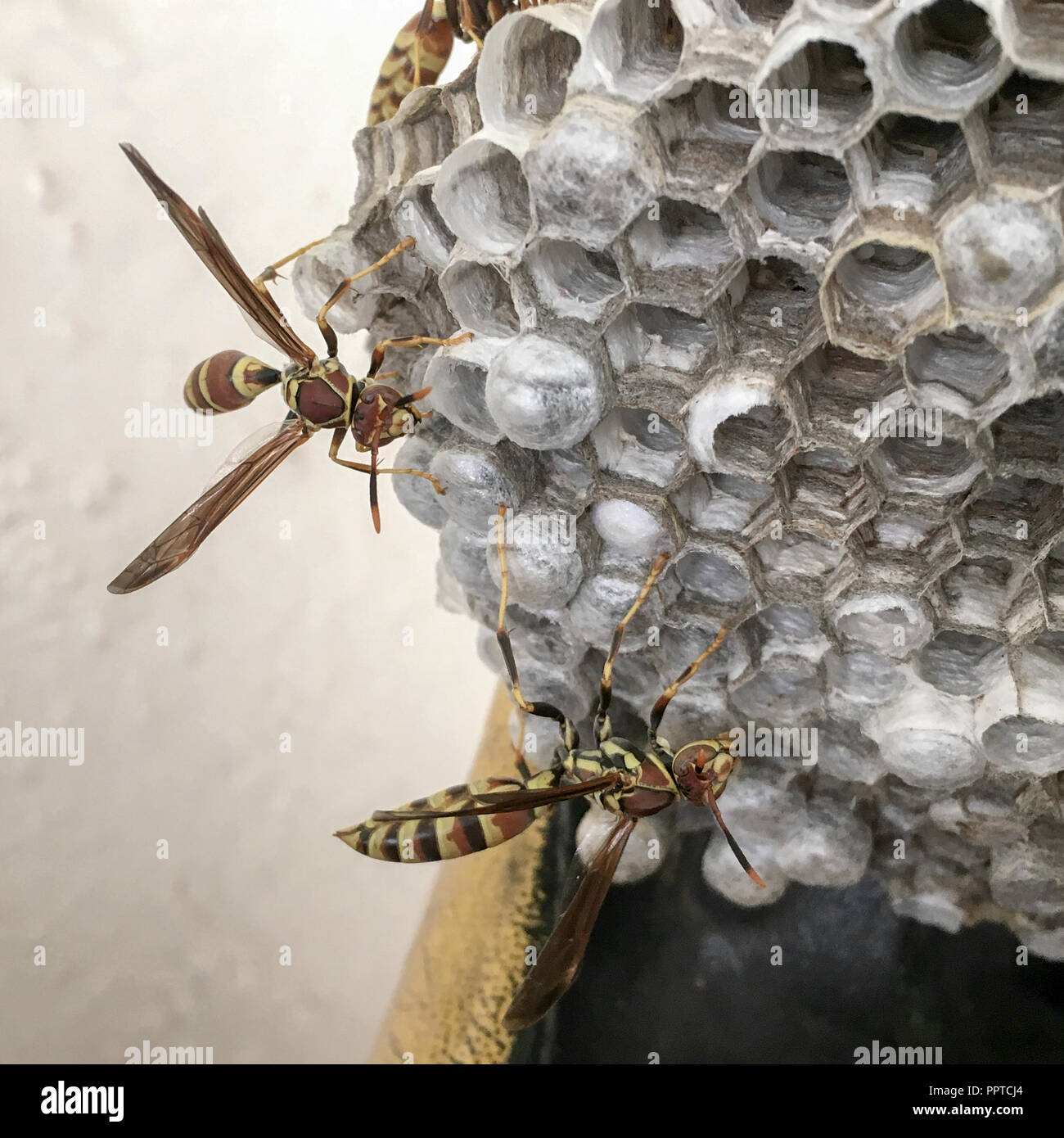 Wasps tending to a nest set up under a carport in West Texas - Stock Image