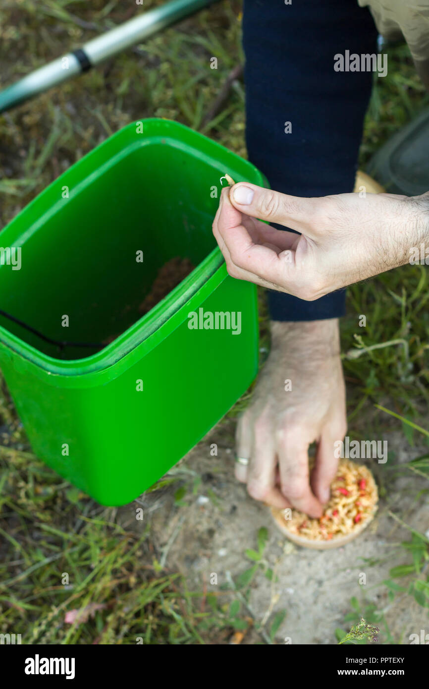 Angler puts a white worm on the hook. The hands of the angler hold a hook with the larvae of fly larvae. Stock Photo