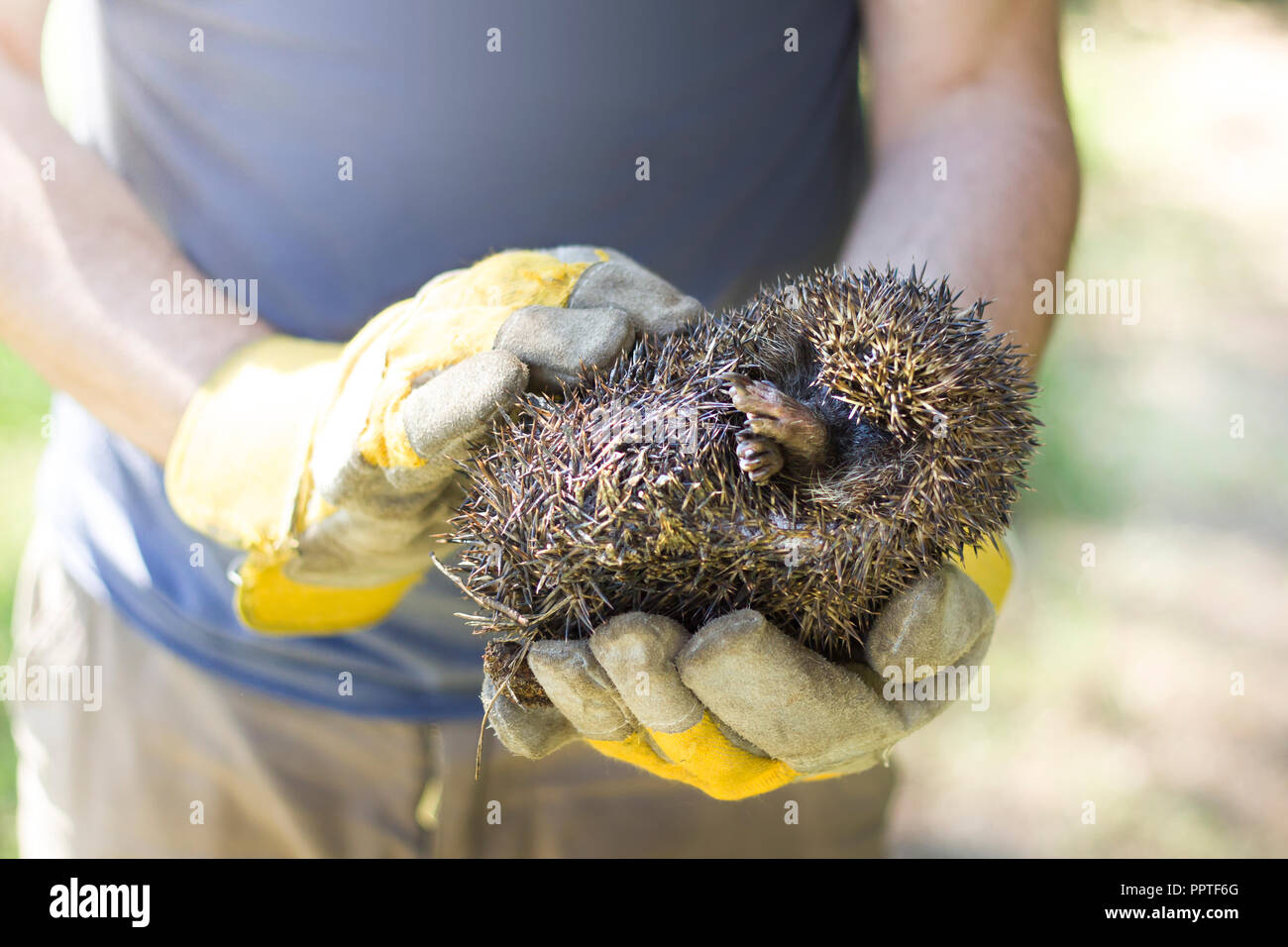 A hunched hedgehog kept in the hands in protective gloves. - Stock Image